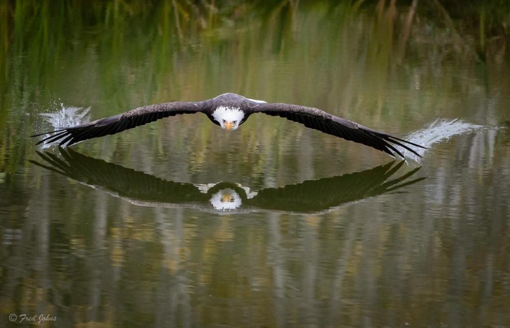 Águila sobrevolando un lago en Canadá.