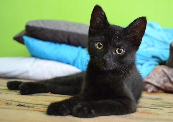 Curiosidades de Halloween, gatos negros